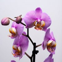 орхидея :: Алексей Ершов
