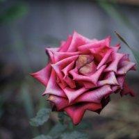 Роза увядшая... :: Михаил Кашанин