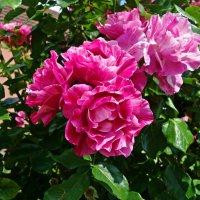"""""""Эта солнечная роза улыбается из лета.."""" :: Galina Dzubina"""