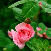 розовая нежность :: Любовь Потравных