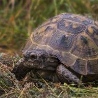 Средиземноморская черепаха :: Андрей Вигерчук