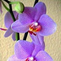 Возбуждающая орхидея :: Сергей Карачин