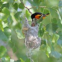 балтиморская иволга самец кормит птенца :: Naum