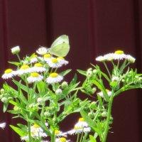 ...бабочки летают, бабочки...(песенн.) :: Вячеслав Медведев