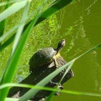 В парке на озере живёт черепаха :: Маргарита Батырева