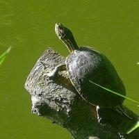 Черепаха выползла позагорать, чем и обнаружила себя :: Маргарита Батырева