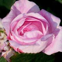 маленькая роза.... :: Наталья Меркулова