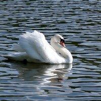 Лебедь чистый, лебедь белый... :: Людмила
