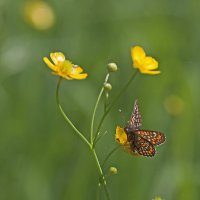 Бабочка на лютике :: Анатолий Иргл