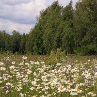 ромашковое поле :: оксана