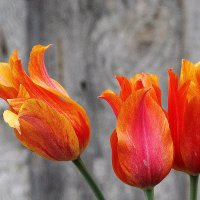 Мои тюльпаны. :: Нина Бурченкова.