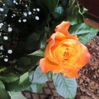 Роза из праздничного букета :: татьяна