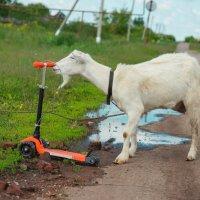 Самокат, коза, лужа. :: Павел Кореньков