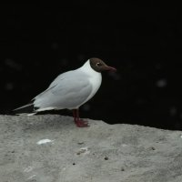 чайка :: kirill Orlov