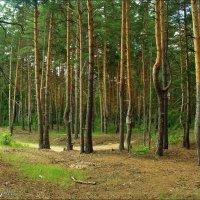 Сосновый лес :: °•●Елена●•° Аникина♀