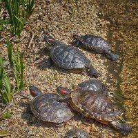 Красноухие черепахи :: Ольга