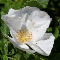 Цветок шиповника :: Наталья Золотых-Сибирская