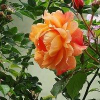 Кремовая роза - тонкое изящество хрупких лепестков :: Маргарита Батырева