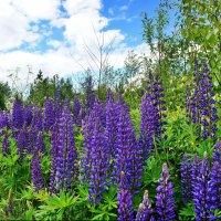 На земле опять цветут люпины и верят, что достанут облака :: Елена Павлова (Смолова)