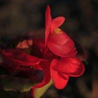 цветущая бегония :: оксана