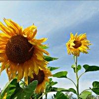 Похожие на солнце :: Leonid Rutov