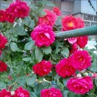 Розовый шатёр :: Нина Корешкова
