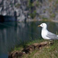 Позирующая чайка :: Сергей