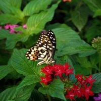 бабочка - летающий цветок :: Elena Wymann