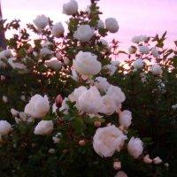 Розы на фоне розового неба :: Ольга