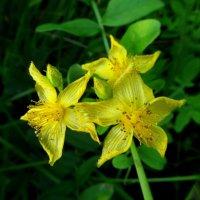 Жёлтые цветы. :: nadyasilyuk Вознюк