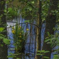 Ирисы лесной речки :: Сергей Цветков