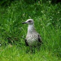 Молодая чайка :: Swetlana V