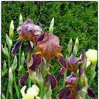цветы и капли,ирис :: Natalia Mihailova