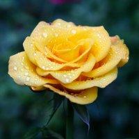 роза.... :: Игорь Гарагуля