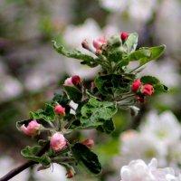 сады цветут 1 :: Александр Прокудин