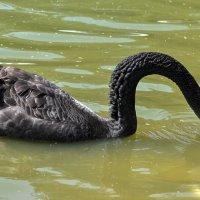 Иногда и чёрный лебедь на пруду... :: Евгений Дубинский