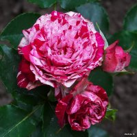 Пёстрая роза.... :: Любовь К.