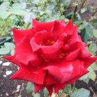 """""""Где роза – там, в любви признанье"""" :: Galaelina ***"""