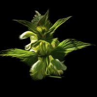 цветок карапивы :: Svetlana AS