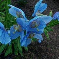 Синие маки :: Nina Yudicheva