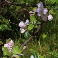 Цветы яблони :: Фотогруппа Весна.