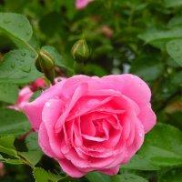 Слёзы розы..... :: Наталья Полочанка
