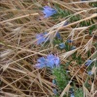 Запутавшиеся цветы воробейника :: Нина Корешкова