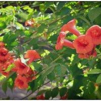 Кампсис цветет... :: *MIRA* **