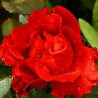 Красная Роза :: Любовь Потравных