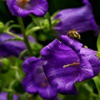 колокольчик цветет, а пчелка трудиться :: Любовь Потравных
