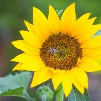 Цветок солнца :: Андрей Щукин