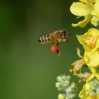 Что несет пчела? :: NICKIII Михаил Г.