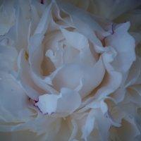 White pion :: Яна Васильева