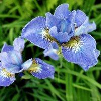 Люблю я очень с юных лет цветы чудесные, ирисы :: Елена Павлова (Смолова)